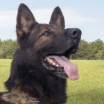 Torr - Male German Shepherd Dog